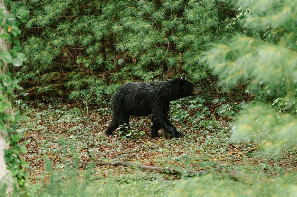 Black bear at Great Smoky Mountains National Park Wedding